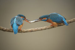 Kingfisher, Alcedo atthis, passing a fish to his mate Stock Images