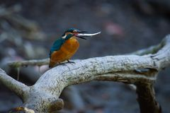 Kingfisher or Alcedo atthis perches with prey on branch stock photography