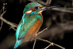 Kingfisher Alcedo atthis perching on branch at night Stock Images