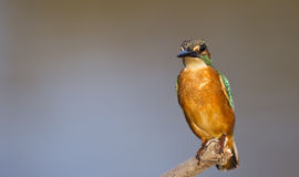 Kingfisher (Alcedo atthis) Stock Photography
