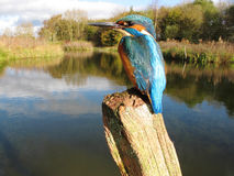 Kingfisher, Alcedo atthis Royalty Free Stock Photos