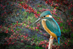 Kingfisher Alcedo Atthis rain forest background. Colorful portrait of Kingfisher. Side view of wild Alcedo Atthis head to legs on tropical river green background Stock Photo