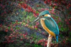 Kingfisher Alcedo Atthis rain forest background Stock Photo