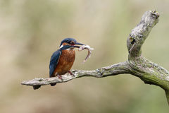 Kingfisher, Alcedo atthis Royalty Free Stock Image