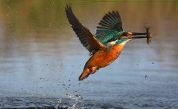 Kingfisher, Alcedo atthis Royalty Free Stock Photography