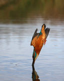Kingfisher, Alcedo atthis. Single bird diving for fish Stock Photos