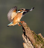 Kingfisher, Alcedo atthis Stock Image