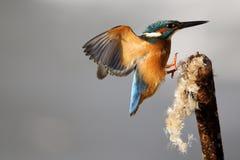 Kingfisher, Alcedo atthis Stock Photography