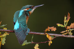 Kingfisher, Alcedo atthis Stock Photo