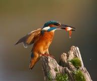Kingfisher, Alcedo atthis Royalty Free Stock Photos