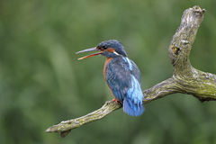 Kingfisher, Alcedo atthis Stock Images