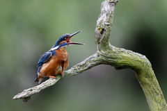 Kingfisher, Alcedo atthis Stock Photography