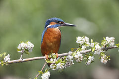 Kingfisher, Alcedo atthis Stock Photos