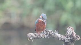 Kingfisher, Alcedo atthis, stock video footage