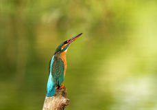 Kingfisher( Alcedo atthis). Kingfisher sitting in the branch and watching on the sky.Poland.Bug river in summer Stock Photos