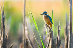 Kingfisher (Alcedo atthis). Waiting for fish Stock Photos
