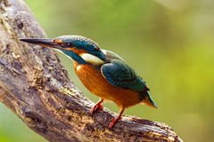 Kingfisher - Alcedo atthis - watching for prey, sitting on a branch Stock Photography