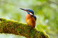 Kingfisher (Alcedo atthis) watching for prey, sitting on a branch Stock Images
