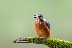 Kingfisher (Alcedo atthis) watching for prey, sitting on a branch Stock Photography
