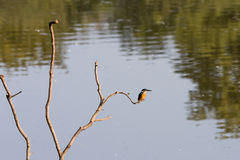 Kingfisher (Alcedoatthis) royaltyfria bilder