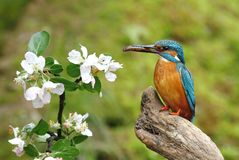Kingfisher And Prime Royalty Free Stock Image