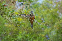 Kingfisher with a Arm Open, Tree and Green Leafs in Pantanal, Brazil royalty free stock image