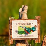 Kingfisher attacks his photo on the sign stock photo
