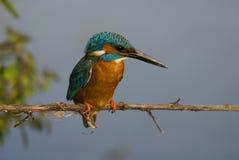 kingfisher atthis alcedo Стоковое Изображение RF