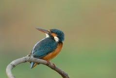 kingfisher atthis alcedo Стоковое Фото