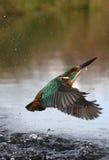 Kingfisher, atthis Alcedo Стоковая Фотография RF