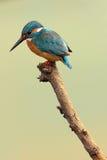 Kingfisher, atthis Alcedo Стоковая Фотография