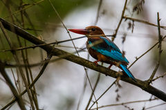 Kingfisher in bamboo Royalty Free Stock Photos