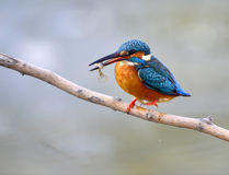 Kingfisher Royalty Free Stock Image