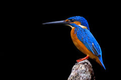 Kingfisher Stock Photos