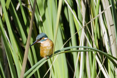 Kingfisher Bird. Photo of a Kingfisher bird resting on a leaf stock photo