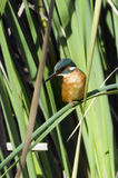Kingfisher Bird. Photo of a Kingfisher bird resting on a leaf stock images
