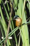 Kingfisher Bird Stock Images