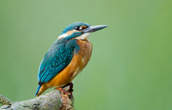 Kingfisher bird. Royalty Free Stock Images
