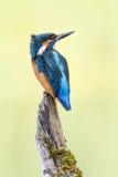 Kingfisher bird on branch Royalty Free Stock Image