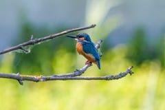 Kingfisher bird on branch Stock Photos