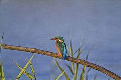 Kingfisher bird on branch in Switzerland Royalty Free Stock Image