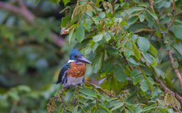 Kingfisher bird, Costa Rica Stock Photography