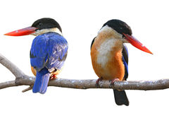 Kingfisher Bird. Couple of Kingfisher Bird (Black-capped Kingfisher) perching on a branch, white background Royalty Free Stock Images