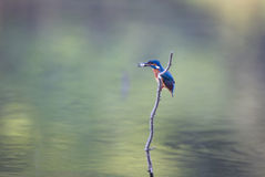 Kingfisher bird with fish in beak. Kingfisher bird standing on branch with fish in beak above water. Wildlife in natural habitat Stock Image