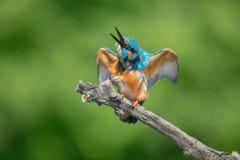 Kingfisher. Bird hunter wings beak predator Royalty Free Stock Photo