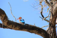 Kingfisher. A Kingfisher bird perched on a branch at Corbett National Park, India Stock Photo