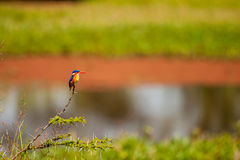 Kingfisher. Bird perched near lake Royalty Free Stock Images