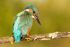 Kingfisher bird preening on a branch Stock Image