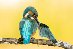 Kingfisher bird preening on a branch Stock Photo