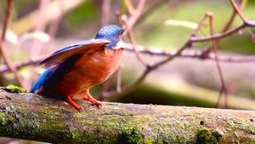 Kingfisher bird sitting on a branch stock video footage
